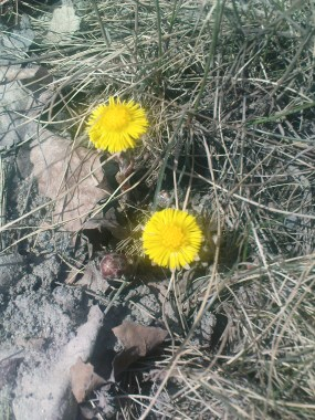 090410-janis-tussilago