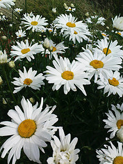 Janis juli 09 blom